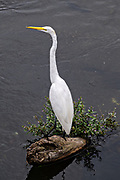 A white heron stands in the Papaloapan River in Santiago Tuxtla, Veracruz, Mexico.
