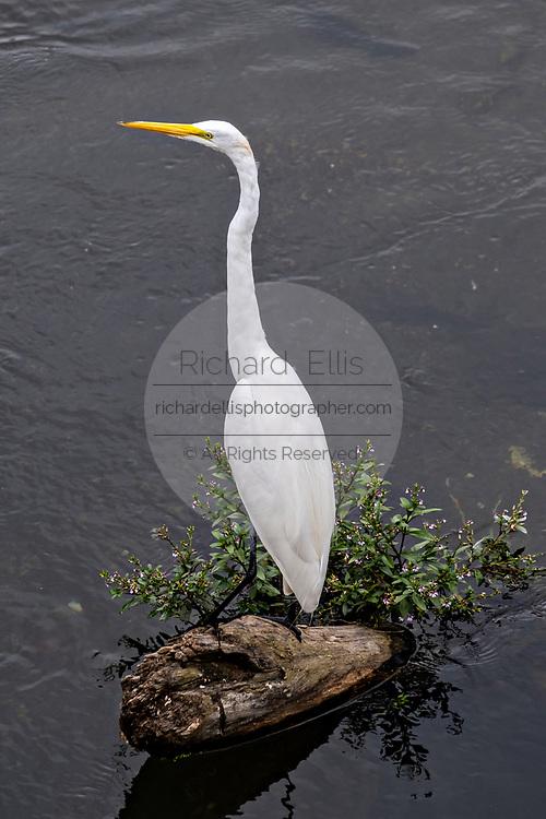 A white heron stands in the Papaloapan River in Santiago Tuxtla, Veracruz, Mexico.
