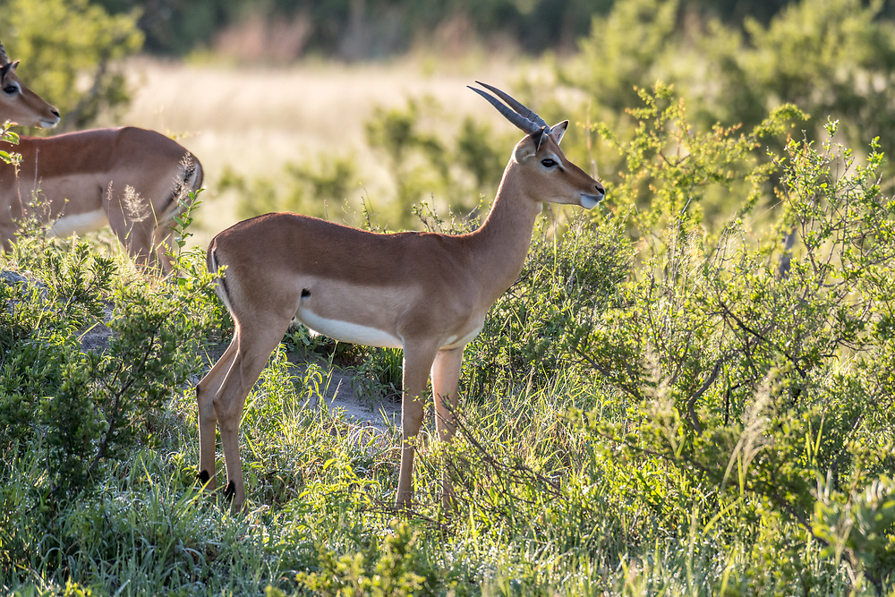 Impala in the grasslands of the savanna in Hwange National Park. Hwange, Zimbabwe