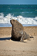 Hooker's Sea Lion, Catlins, New Zealand
