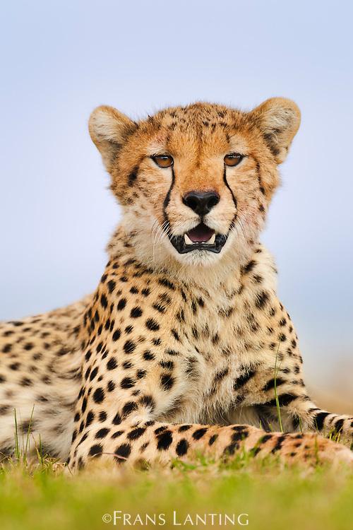 Cheetah resting, Acinonyx jubatus, Masai Mara National Reserve, Kenya