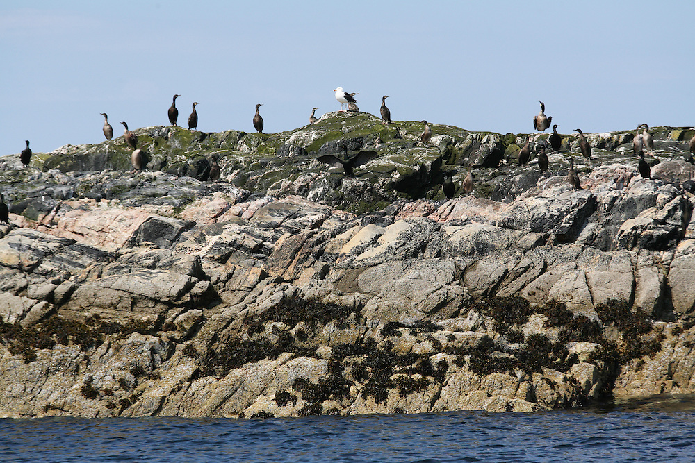 Bird Colony - Island of Coll, in the area of the Island of Mull; Scotland; June 2009<br /> Mission: Basking Sharks (Coll and Tiree Islands area)