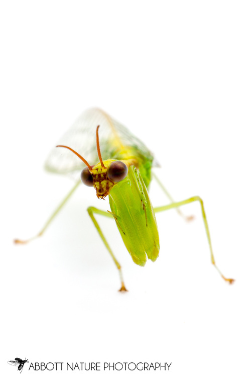 Green Mantisfly (Zeugomantispa minuta)<br /> TEXAS: Travis Co.<br /> Brackenridge Field Laboratory; Austin<br /> 19-Dec-2012<br /> J.C. Abbott &amp; K.K. Abbott