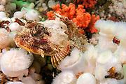 A Red Irish Lord, Hemilepidotus hemilepidotus, rests on a bed of marine invertebrates in Browning Passage, Vancouver Island, British Columbia, Canada