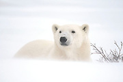 Polar Bear (Ursa maritimus) on sub-arctic Hudson Bay  lying on ice in snow blizzard