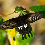 Parides adamsoni Butterfly of Thailand at rest