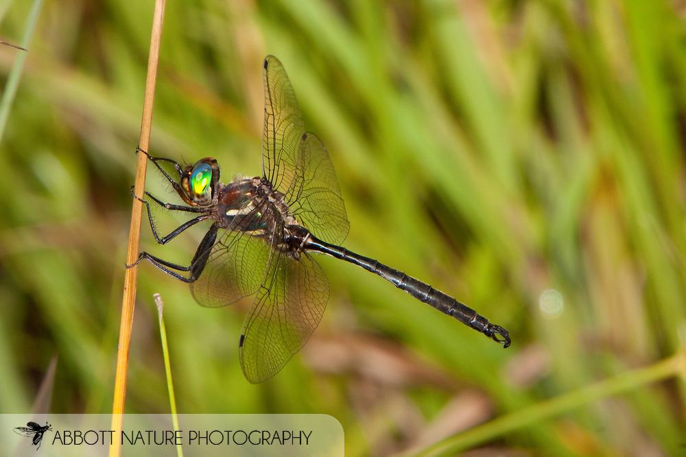 Somatochlora hineana (Hine's Emerald) - male; Federally Endangered Species<br /> MISSOURI: Reynolds Co.<br /> Fen on private property<br /> 21.June.2009<br /> J.C. Abbott #2404