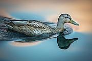 Duck in evening light | And i kveldslys