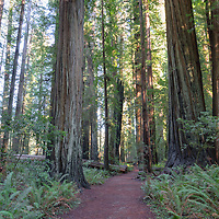 Walk amongst giants! Redwoods National Park, California
