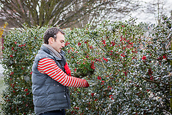 Cutting sprigs of holly in the snow to make Christmas wreaths