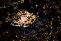 A lone oyster in a bed of mussels and barnacles