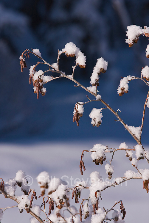 Snow covered willow bushes along the Truckee River near Tahoe City in California