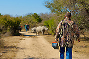 White Rhinoceros (Ceratotherium simum) de-horning conducted in South Africa to combat illegal rhino horn poaching.