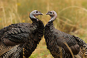 Two wild turkeys (Meleagris gallopavo) face off in the Zion canyon in Utah. Wild turkeys are native to North America and they prefer to live in woodlands. They are the heaviest member of the Galliformes family. Despite their size and appearance, they can fly for up to a quarter-mile at a time.