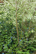 Willow stems & leaf with border of Pentaglottis sempervirens Alkanet & Anthriscus sylvestris  Cow Parsley  fern fronds