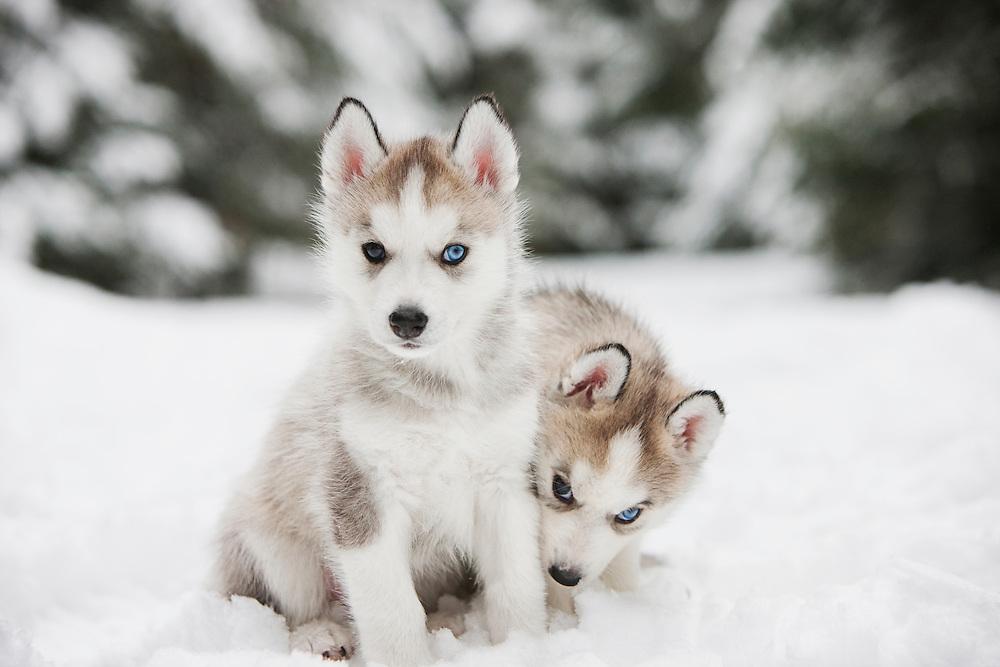 Siberian Husky Puppies sitting in the snow