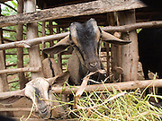 Beatrice Wobudyasi started out by living in the cow shed with the cow she was given by Send a Cow. Now she has built a larger house and looks after four orphans, as well as seven of her own children. She has expanded her farm to include some goats.