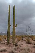 Two Sagoaros in Organ Pipe National Monument, southern Arizona, USA