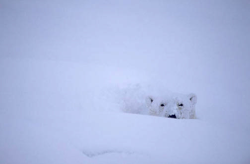 Polar Bear, (Ursus maritimus) Napping in snow. Churchill, Manitoba. Canada.