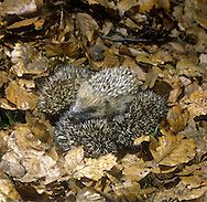 Hedgehog Erinaceus europaeus Length 23-27cm Mainly nocturnal animal, protected by spines (modified hairs). Feeds mainly on invertebrates but will take food put out by people. Hibernates from Oct-Apr. Spines are erectile and an effective deterrent when animal rolls into a defensive ball. Head and underparts are covered in coarse hairs. Muzzle-shaped head ends in a sensitive nose. Utters a pig-like squeal in distress, and grunts when courting. Familiar garden resident.