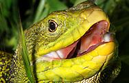 Alberto Carrera, Narural Colors Exhibition, Lizard, Ocellated lizard, Eyed Lizard, Timon lepidus, Guadarrama National Park, Spain, Europe