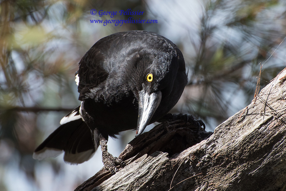A Pied Currawong (Strepera Graculina) in the Blue Mountains, Australia.