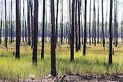 burned pine trees in Big Branch Marsh National Wildlife Refuge