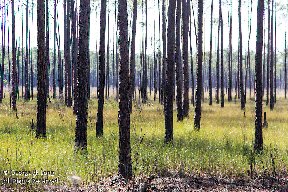 burned pine trees in Big Branch Marsh National Wildlife Refuge