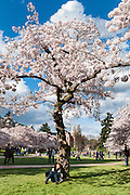 "Cherry trees flower in early April in Seattle, Washington, USA. On left is Raite Hall, with the Art Building (built 1949) at center. The Yoshino cherry trees on ""the Quad"" (Liberal Arts Quadrangle) of the University of Washington were a senior gift from the class of 1959. The trees were rescued from a construction site for the Evergreen Point Floating Bridge and moved to campus in 1964."