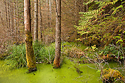 Trees in swampy water. Smugglers Cove Provinicial Park, British Columbia
