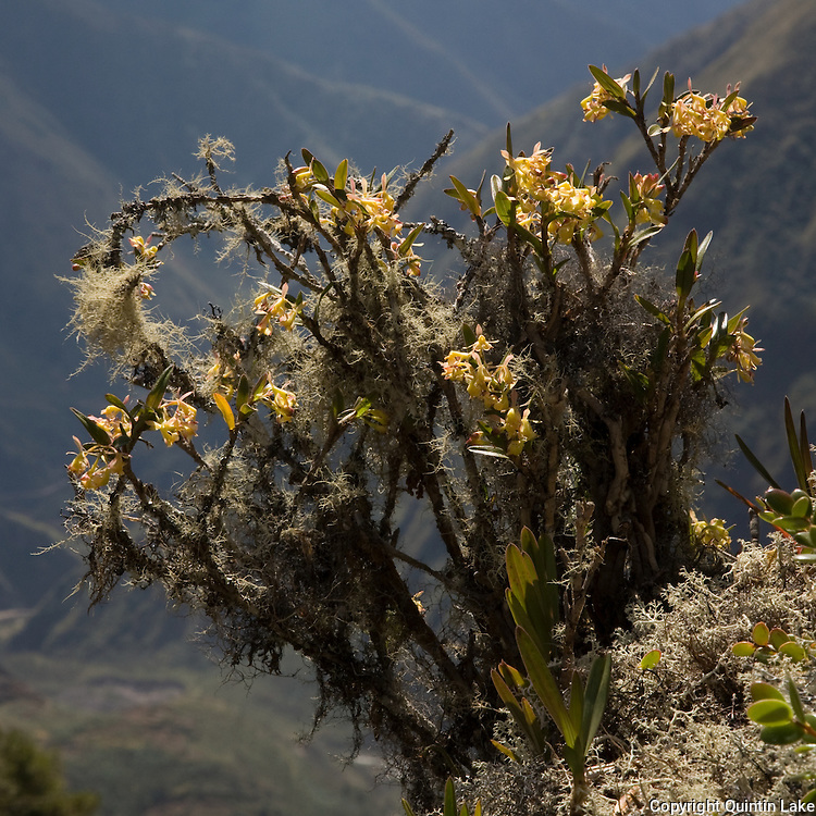 Epidendrum scoloporum, an orchid near the Interoceanic highway in Peru