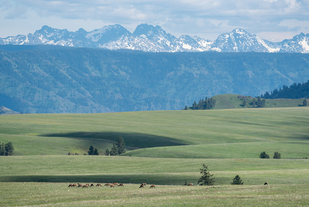 Elk herd on Oregon's Zumwalt Prairie with the Seven Devils Mountains of Idaho in the distance.