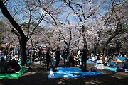 People enjoy their lunch break underneath cherry blossom trees at Ueno park in Tokyo on April 3, 2017 The cherry blossom season in Japan kicks off boozy parties across the country and draws tourists from far and wide. 03/04/2017-Tokyo, JAPAN