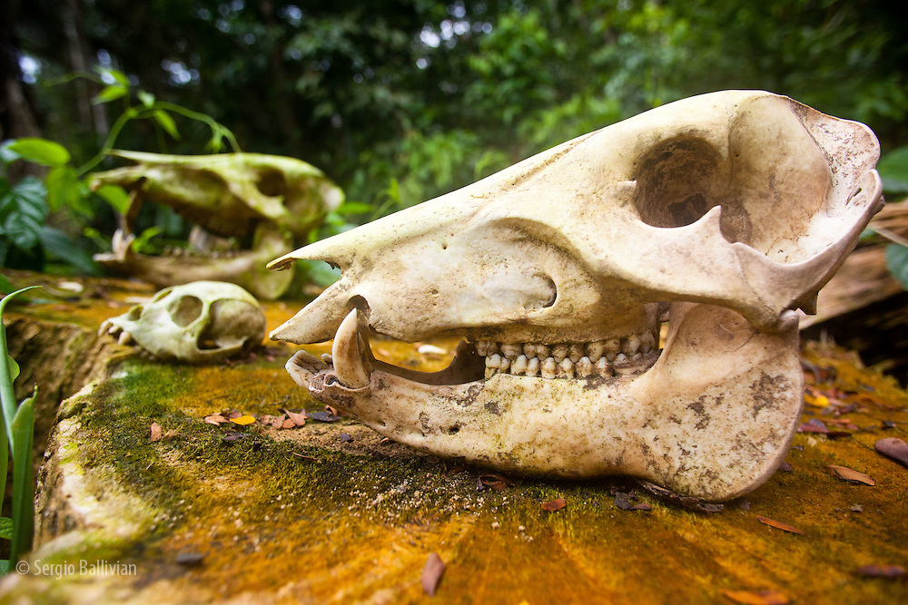 Skulls of various mammals are displayed outdoors at a lodge in Tambopata Reserve  in thePeruvian Amazon.