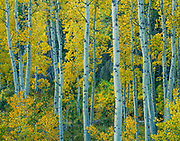 Yellow aspen, Lee Vining Canyon, Inyo National Forest, California  1983