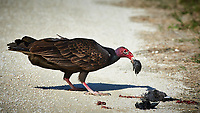 Turkey Vulture Having Brunch. Biolab Road, Merritt Island National Wildlife Refuge. Image taken with a Nikon D4 camera and 500 mm f/4 VR lens (ISO 640, 500 mm, f/9, 1/2000 sec).