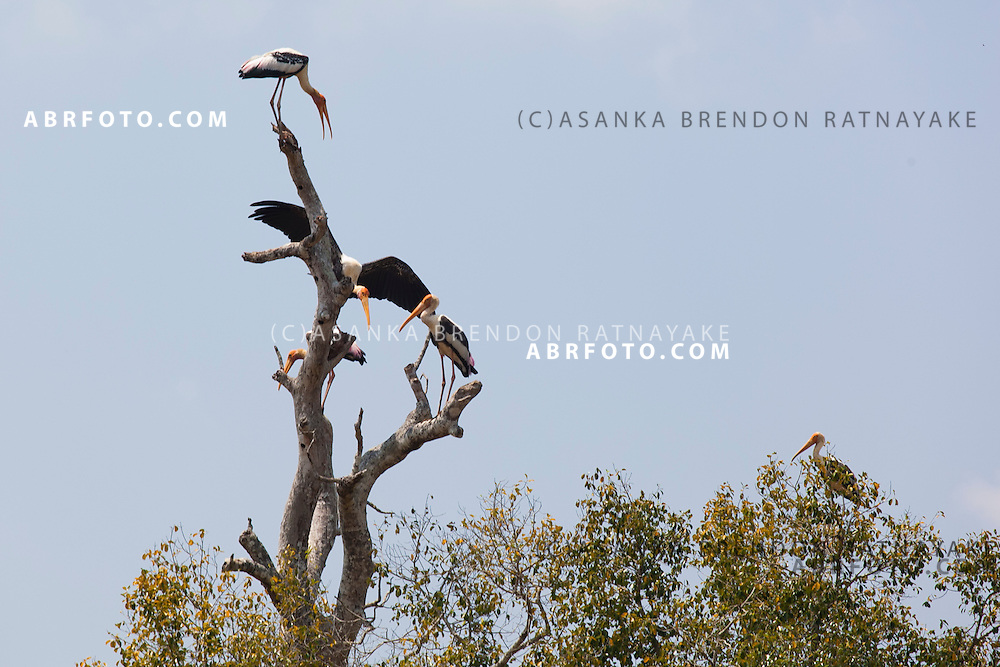 Painted storks are among the many water birds that migrate to the park at Udawalawe National Park lies on the boundary of Sabaragamuwa and Uva Provinces, in Sri Lanka. The national park was created to provide a sanctuary for wild animals