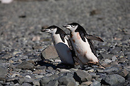 Antarctica. Chinstrap penguins in  Robert point - shetlands archipelago, Antarctica   / manchots a jugulaire a  Robert point - Shetlands archipel, Antarctica  Pygoscelis antarcticus  Forster  TAR003
