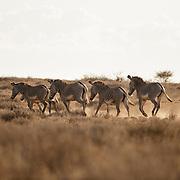 Samburu Stripes