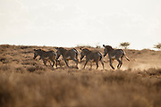 Endangered Grevy's zebras move through the plains of northern Kenya. There are only an estimated 2,400 remaining.