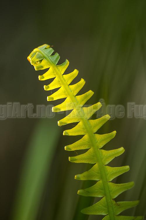 Fern (Polypodiopsida) | Bregne