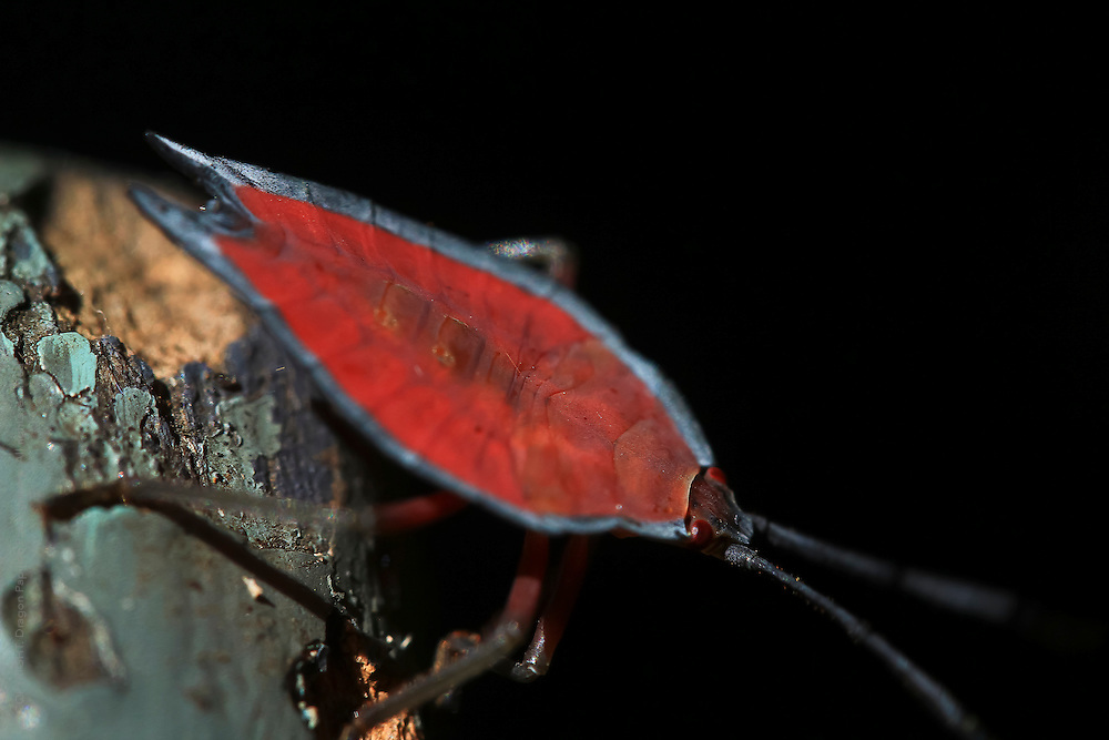 macro photography: red leaf insect against black background