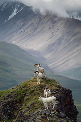A group of dall sheep look warily on a distant approaching grizzly bear look over the Plains of Murie on Marmot Point near the Polychrome Mountains in Denali National Park and Preserve in Alaska.