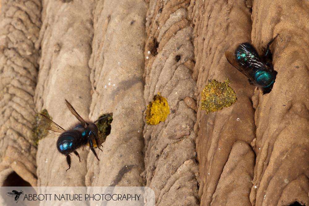 Osmia ribifloris (blueberry bee) using old Trypoxylon nest<br /> TEXAS: Travis Co.<br /> Brackenridge Field Laboratory; Austin<br /> 9-March-2011<br /> J.C. Abbott