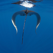 Juvenile manta ray swimming along the ocean surface skimming for food, with both wings in the down position