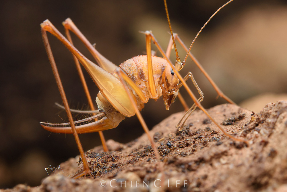 Cave Cricket (Diestrammena sp.). Mulu National Park, Sarawak, Malaysia.