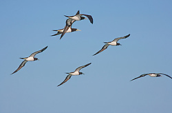 A flock of Brown Boobies leave Camden Sound to fly back to Adele Island to roost.