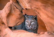 Bobcat looking through hole in sandstone formation, [captive, controlled conditions] © 1999 David A. Ponton