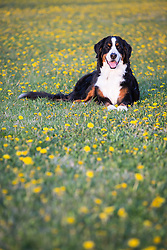 Bernese Mountain Dog laying in yellow flowers during spring.