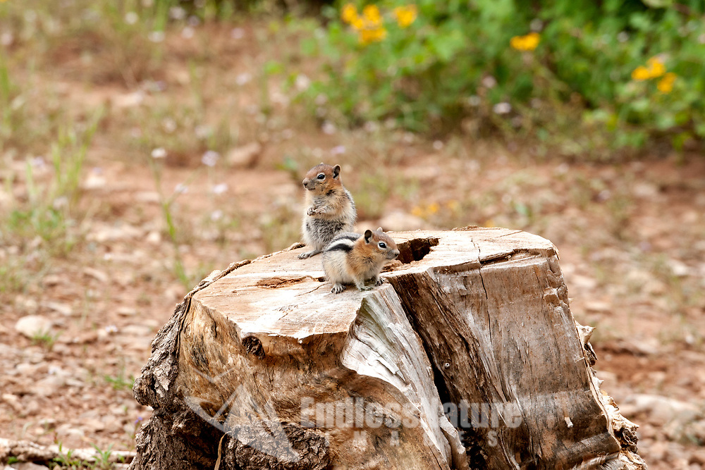 A pair of Uinta Chipmunks sits on a log watching everything that transpires around them almost like its movie night.
